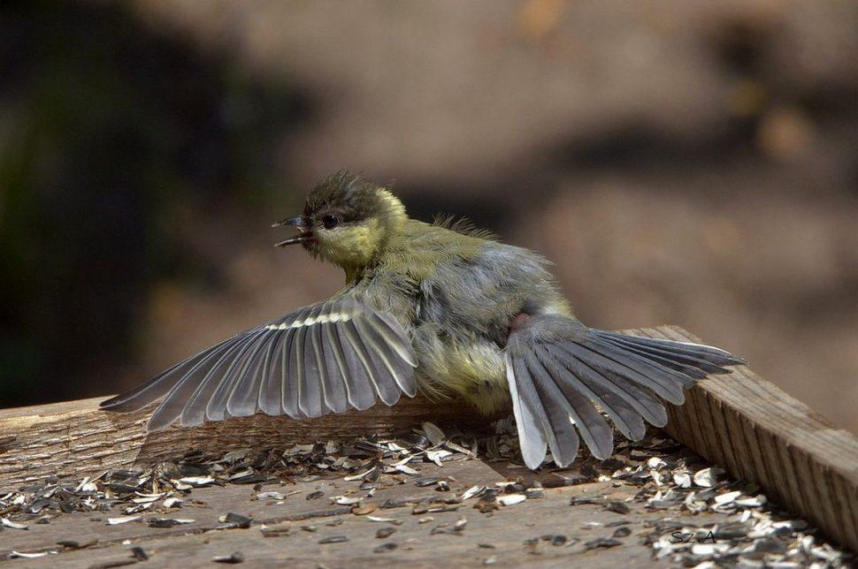 Szűrők törlése. Kapcsolódó képek: kék cinege madár kert fiatal cinege.